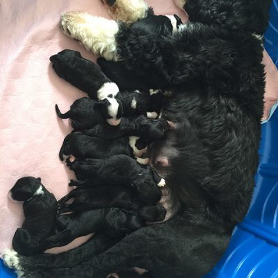 black and white mama dog nursing her puppies. Mama dog has 10 black and white puppies