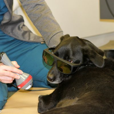 black dog receiving laser treatment from vet. dog has on black sunglasses and is laying down. vet is crouching down to treat dog