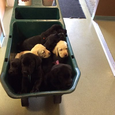 A wheelbarrow full of 7 Labrador retriever puppies. five of the puppies are black and two are yellow