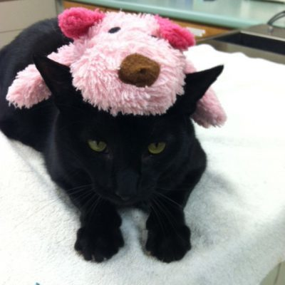 Black cat with green eyes laying down on table. Cat has a pink stuffed dog toy sitting on head